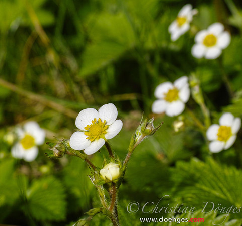 Alpine Strawberry Blossoms in the Spring Sun